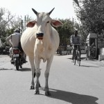 India's cow dilemma!!!