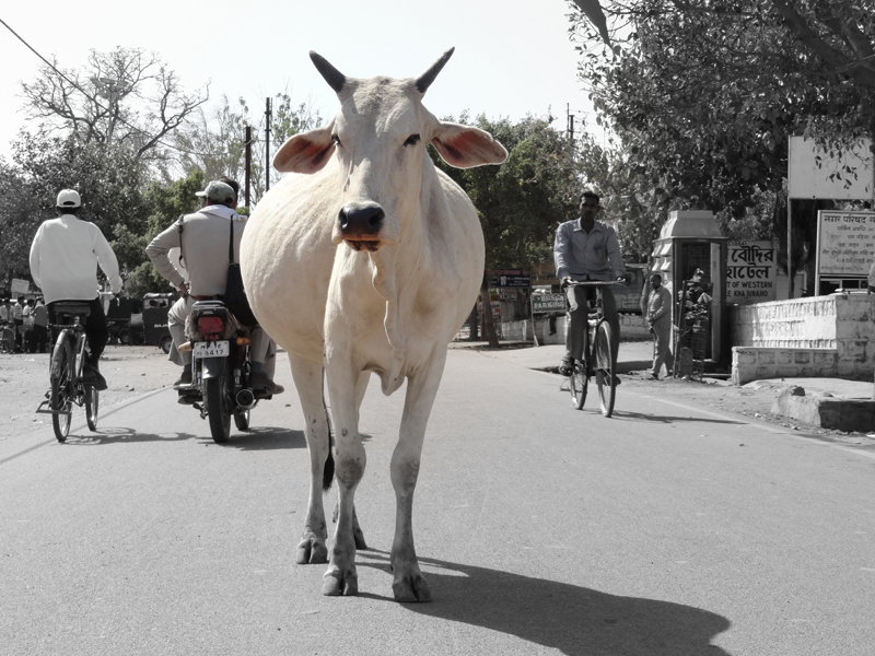 India's cow dilemma.