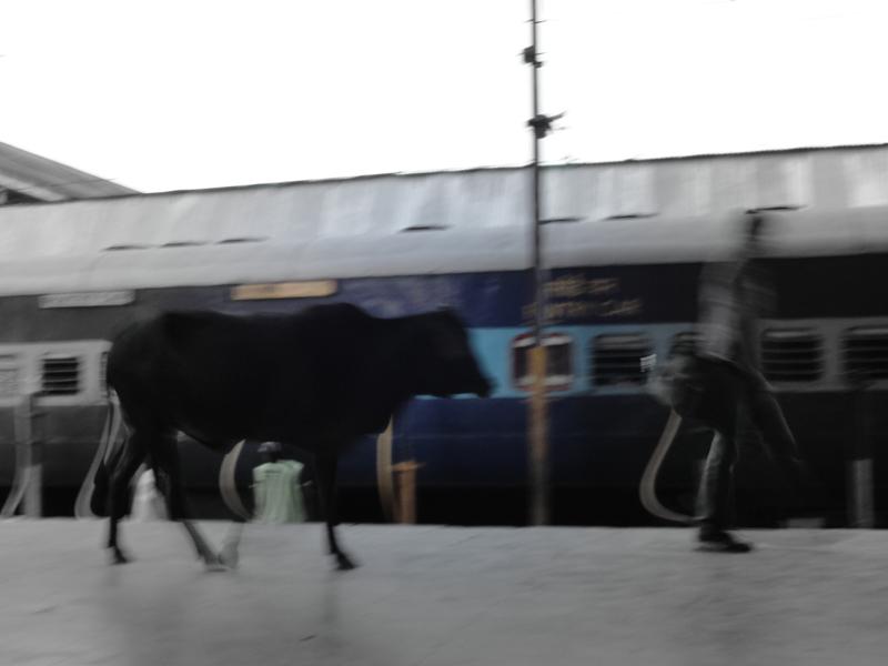 India's cow dilemma.