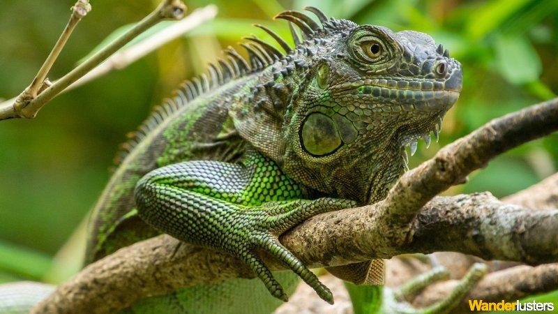 Iguana -  La Fortuna, Costa Rica