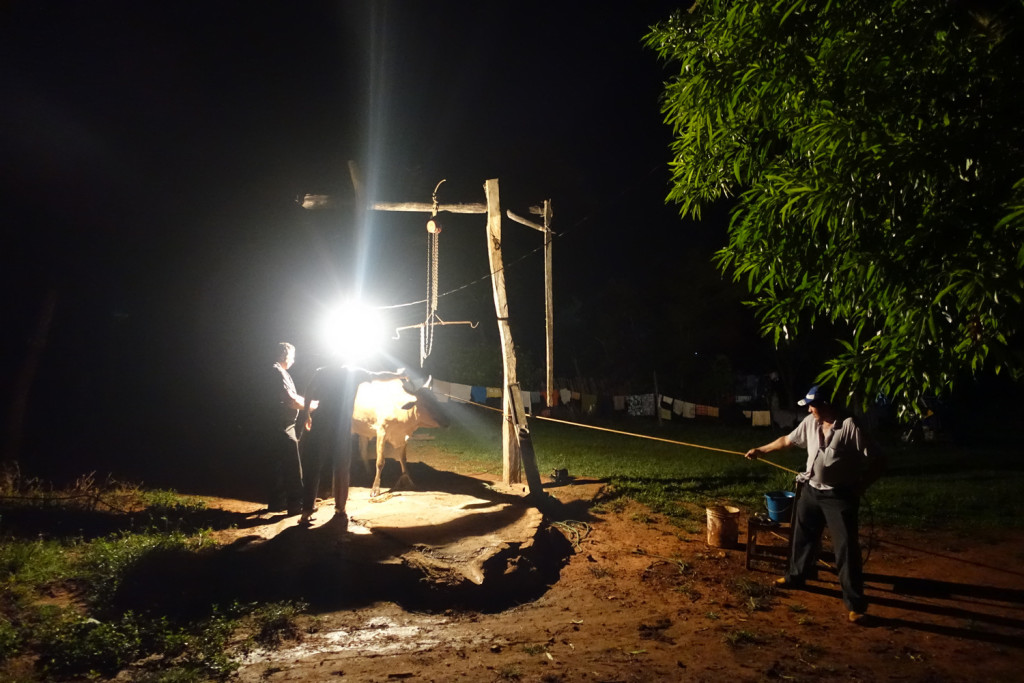 Slaughter of a cow in Paraguay.